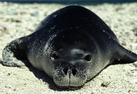 NWHI Hawaiian Monk Seal