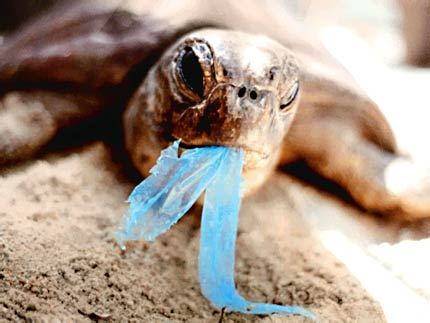 Turtle (Hawaii Starting To Ban Plastic Bags)